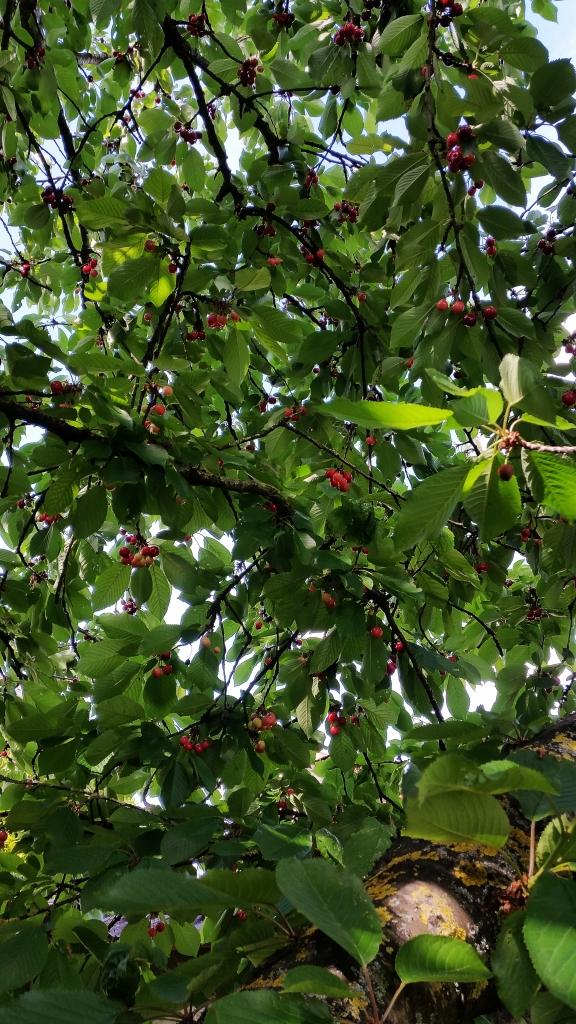 Cherry (8)