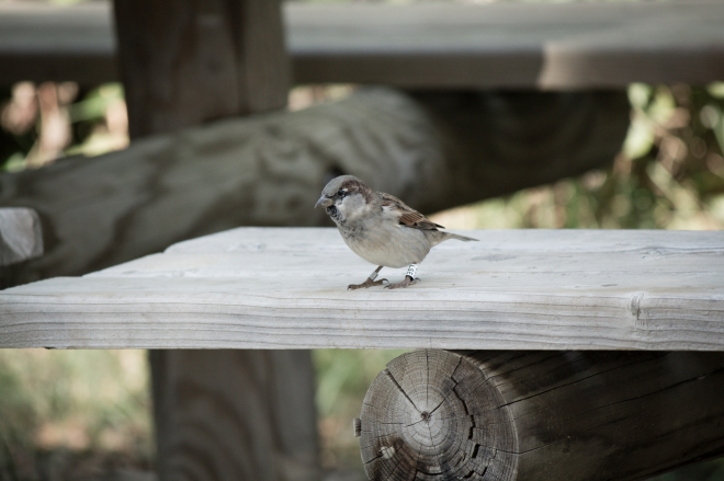 Moineau (Burung Pipit)