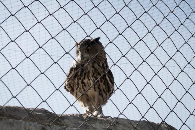 Burung hantu (Hibou)