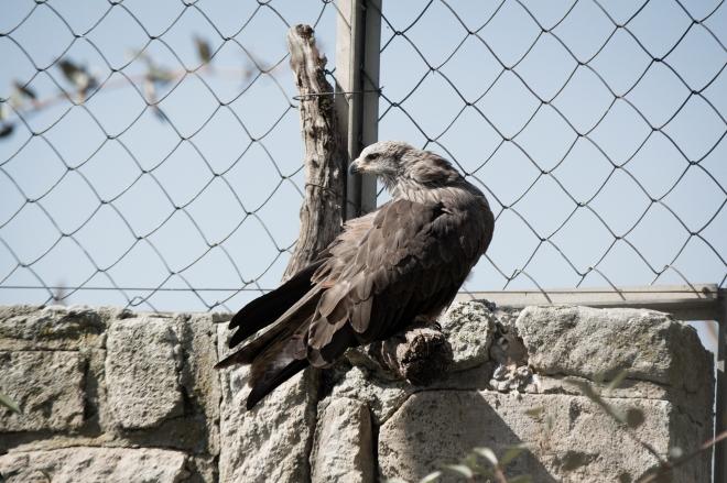 Oiseau de proie (Burung Pemangsa)