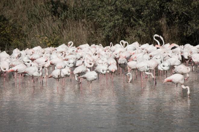 Beberapa Flamingo sedang berkumpul dan berjemur