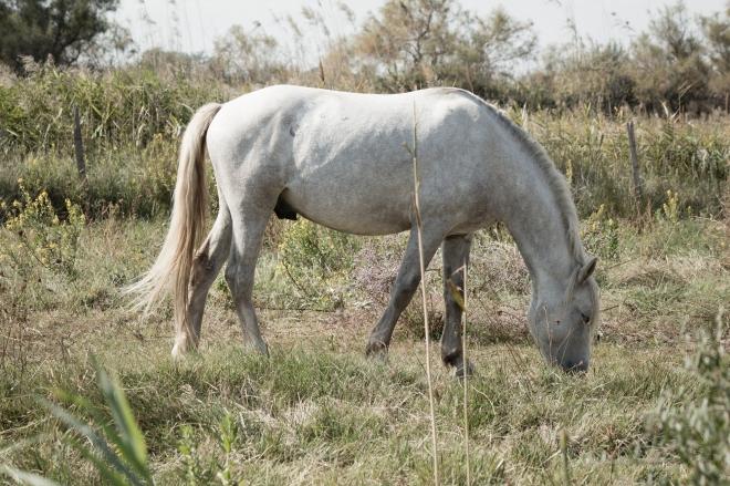 Kuda putih (Khas dari Camargue)